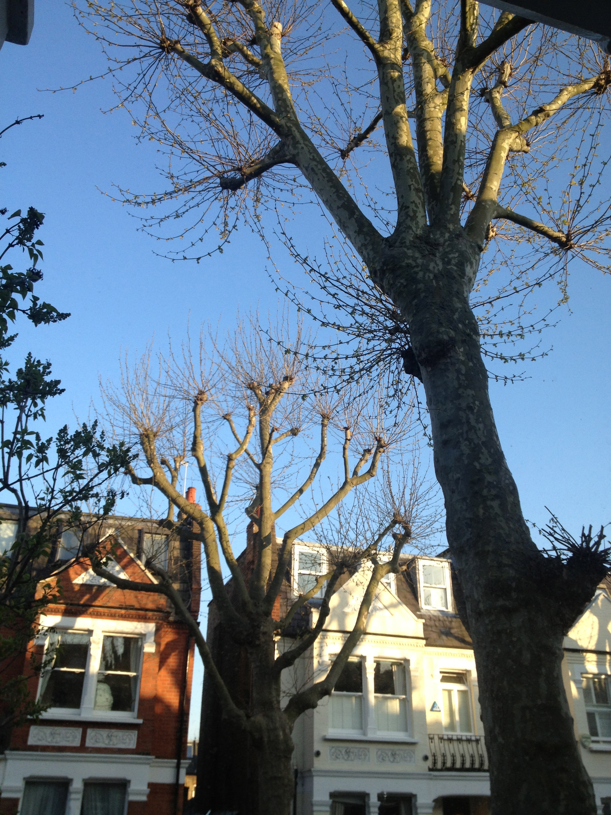 Spring has finally arrived in the UK and all the London Plane Trees are finally growing some leaves.