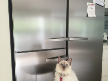 Given the kitchen is the hub of any family home, matching your moggy is essential for that look that your neighbours will envy. We at Chez Marmalade have ensured Audrey's ears are strictly in accordance with our stainless steel appliances, including the bin.